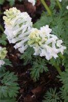 Corydalis solida 'White Knight'